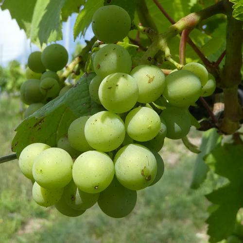 canvas - witte druiven - CV2004