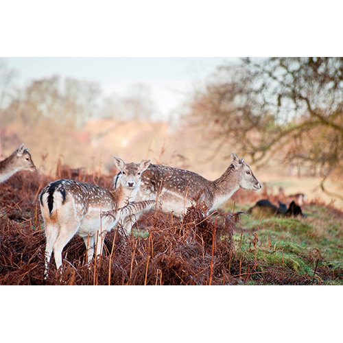 Repro Voorne - tuinposter herten