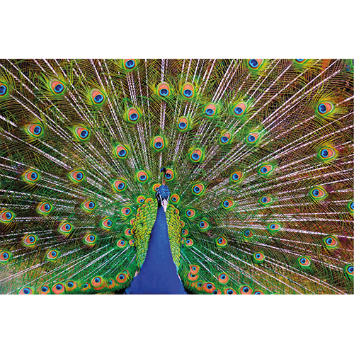 Repro Voorne - tuinposter pauw