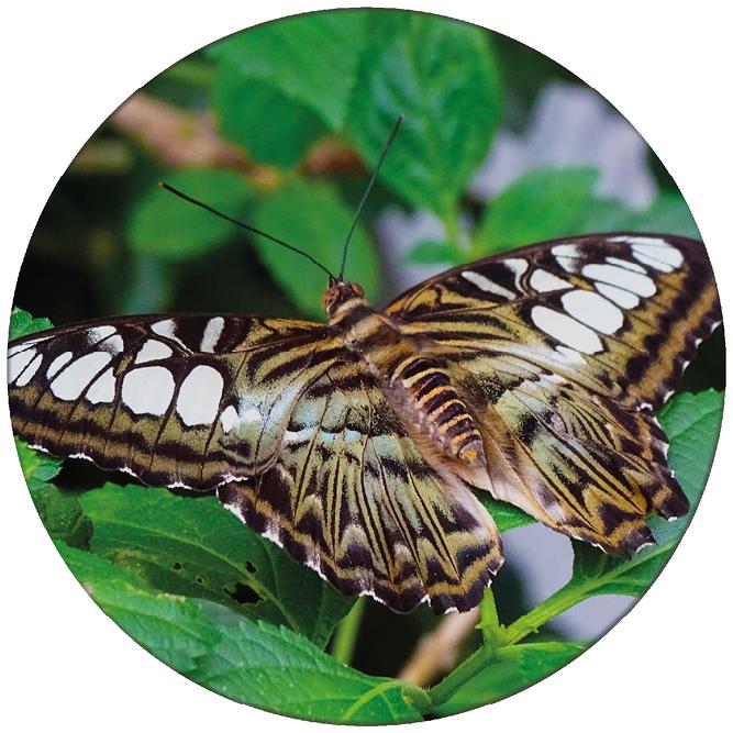 Vlinder 1 ZBC007