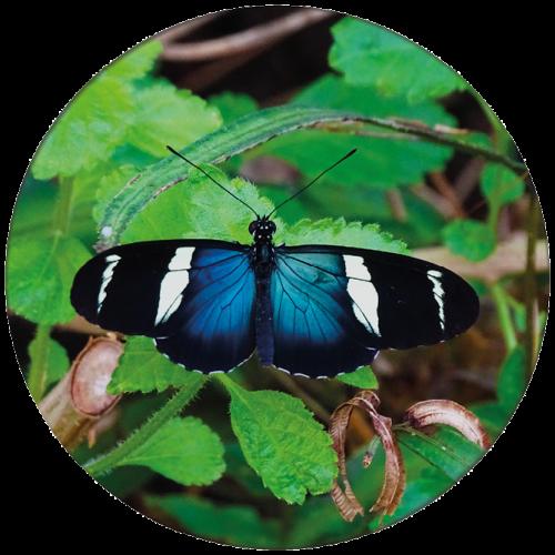 Vlinder 2 ZBC008