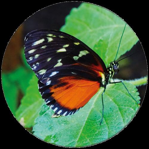 Vlinder 3 ZBC009
