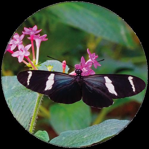 Vlinder 4 ZBC010